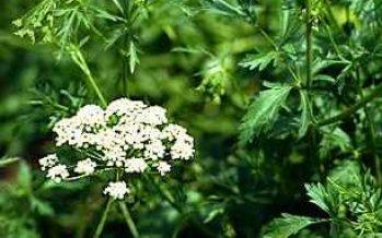 Anasonul (Pimpinella anisum)