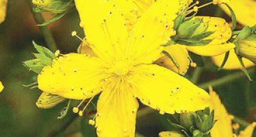 Sunatoarea (Hypericum perforatum)