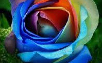 Trandafirul (Rosa L.)