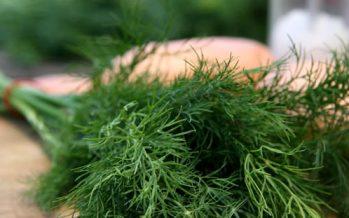 Mararul (Anethum graveolens)
