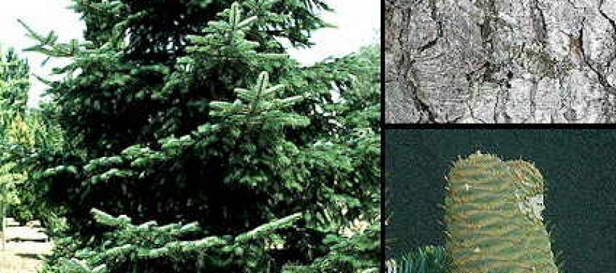Abies alba (brad)