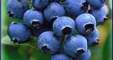 Afinul (Vaccinium myrtillus)