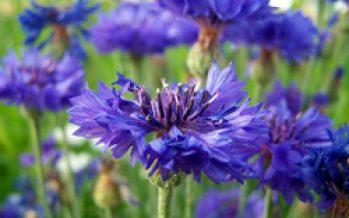 Albăstreaua (Centaurea cyanus)