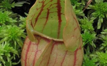 Sarracenia purpurea (Planta Pitcher)