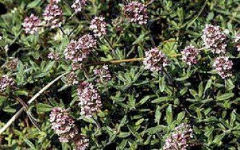 Cimbrul (Thymus vulgaris)