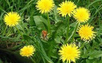 Papadia (Taraxacum officinale)