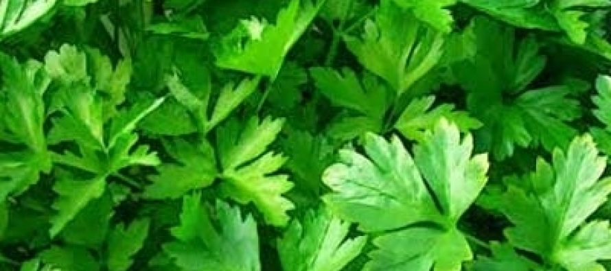 Pătrunjelul (Petroselinum crispum)