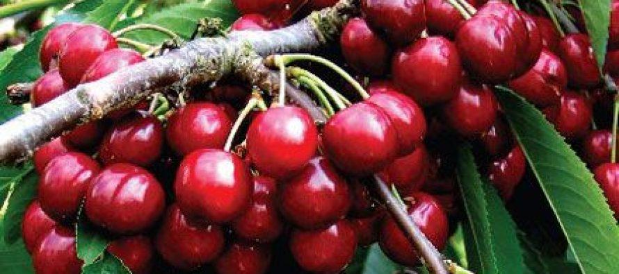 Ciresul (Prunus avium)